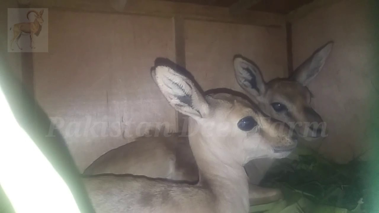 Chinkara Deer Baby For Sale ! Chinkara Deer Baby Pair Going Lahore