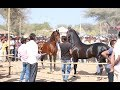 Mega Ashwa show Breeding Stallion horse ring show 2019 p1