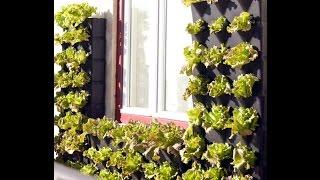 видео Как вырастить петрушку, укроп и шпинат на подоконнике?