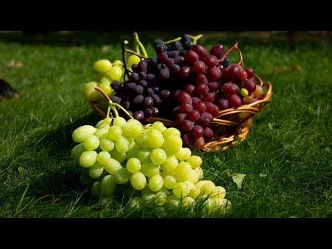Лучшие столовые сорта винограда для средней полосы. Урожай 2019 | винограда | столовые | виноград | средней | сортов | полосы | лучших | лучшие | сорта | топ