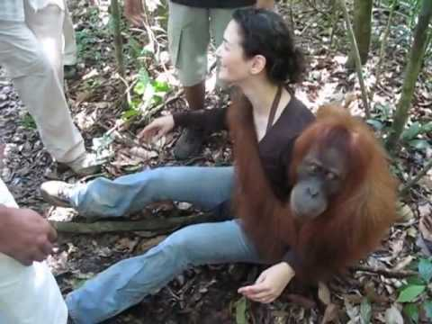 funny monkeys, baby monkey  Orangutan, Bukit Lawang   Indonesia, Sumatra