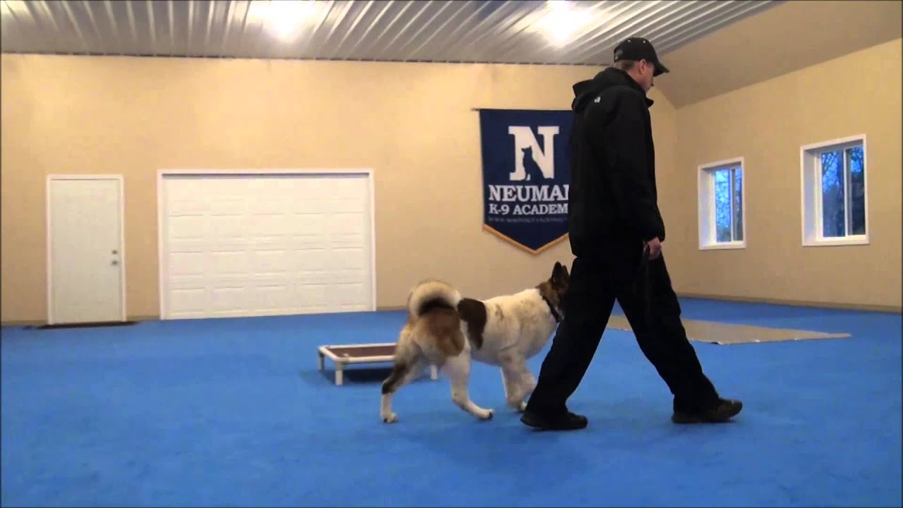 Jacky Akita Dog Training Boot Camp Video Youtube