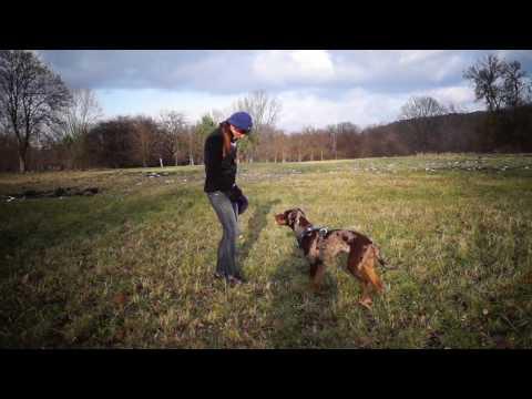 Frisbee training- louisiana catahoula