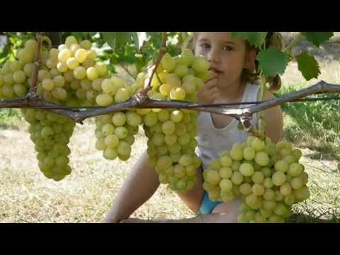 Сорт винограда Флора (Лора)