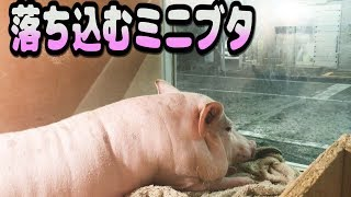 【ミニブタ】落ち込む豚が可愛い件(♂tukune)The mini-pig which drops