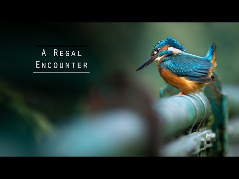 Kingfishers - Urban Wildlife Photography