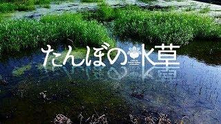 田んぼの水草 2017(スローアクアリウム, ビオトープ)