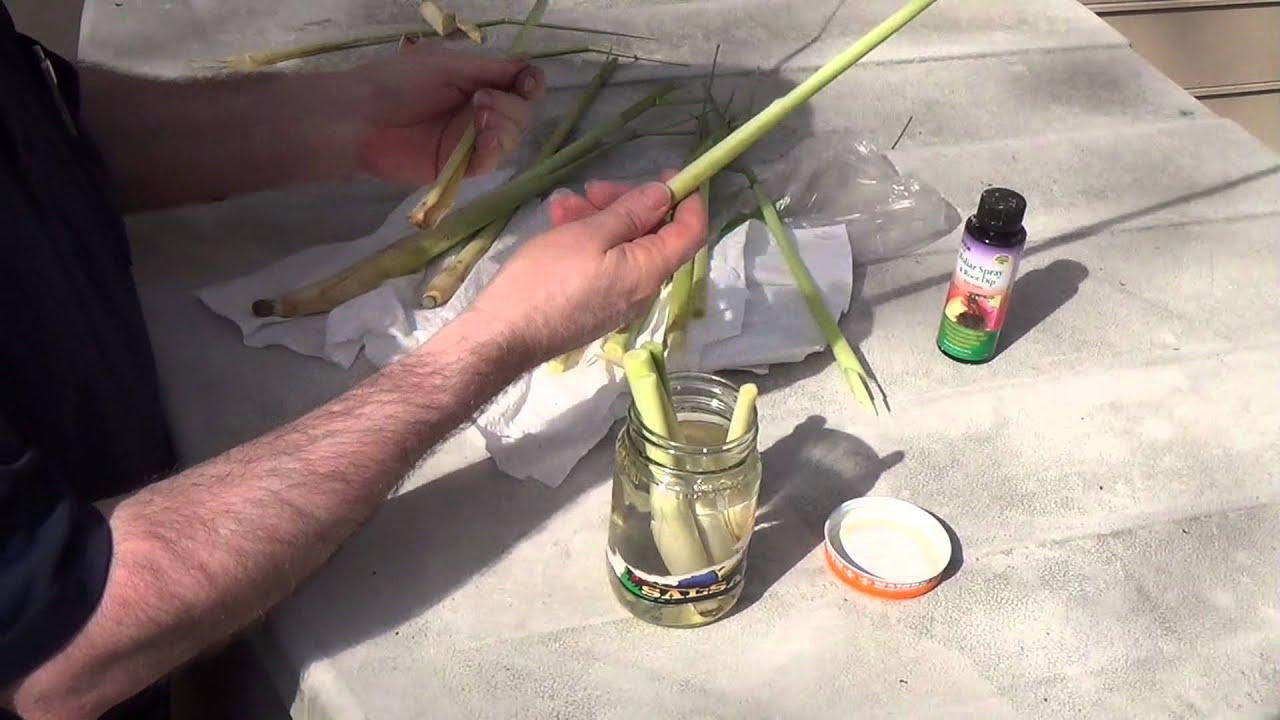 How to grow lemon grass - How To Grow Lemon Grass 55