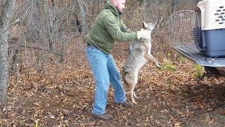 Coyote In Dogbox 2015 HD