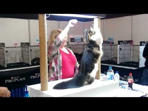 Maine Coon cat at CFA event Plaza Angsana