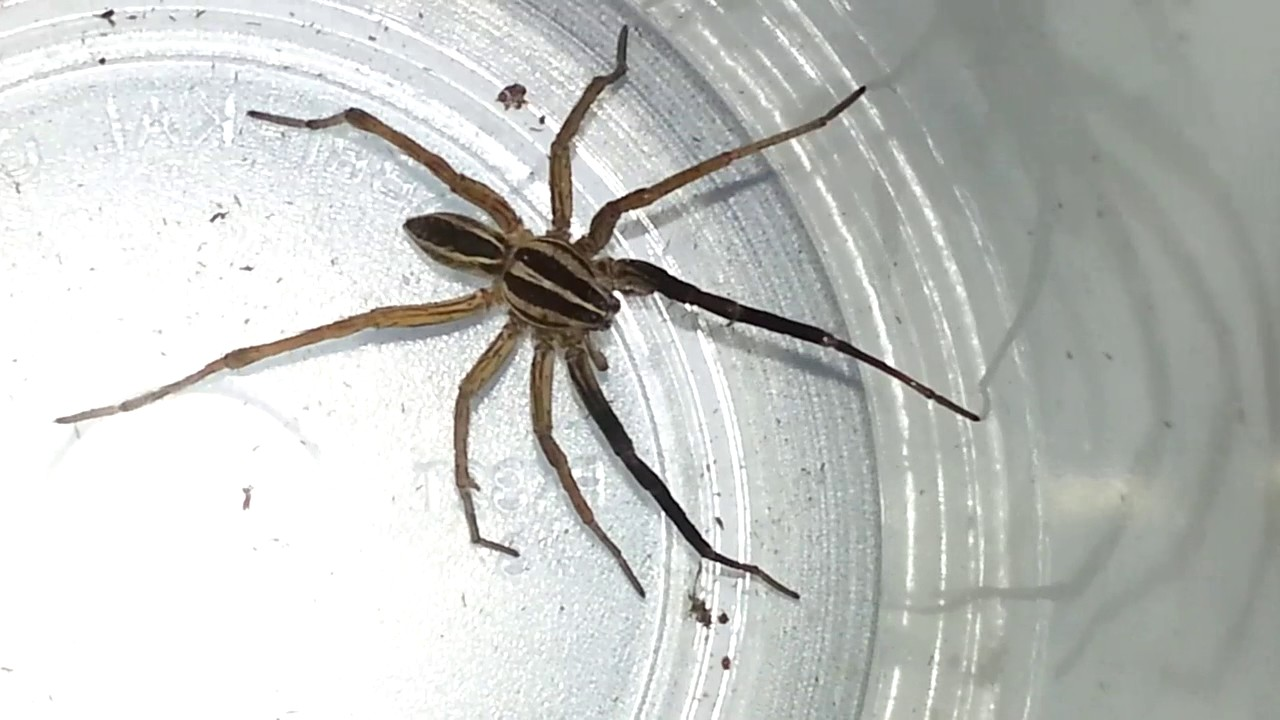 Identification and Treatment of a Wolf Spider Bite