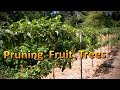 How to Prune Apple and Pear Trees | Espaliered Fruit Tree Pruning