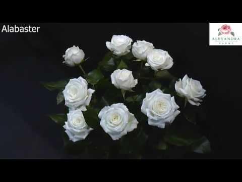 Alabaster Garden Rose Timelapse