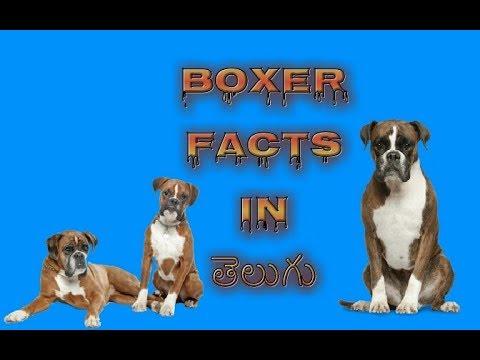 Boxer dog Facts in Telugu popular breed dog | Taju logics