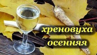 Рецепт хреновухи осенней от Алкофана