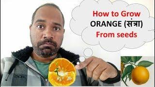 How to grow Orange plant from seeds/ बिज से संत्रा / आॅरेंज कैसे उगाए/ citrus seed germination
