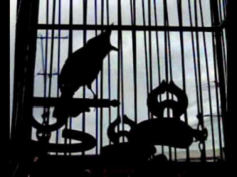 นกกรงหัวจุก นกหัวจุกป่าจากพม่า