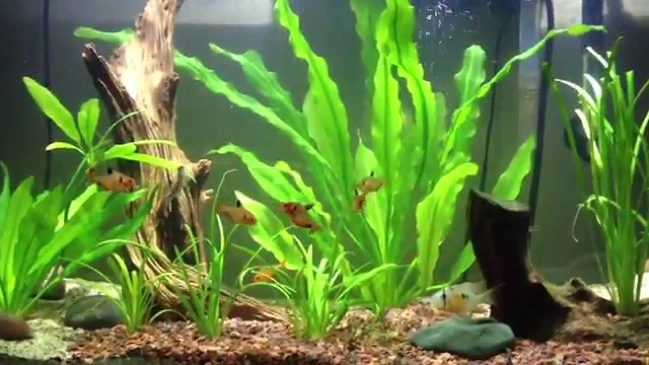 Fish for amazon aquarium - Amazon River Biotope Aquarium