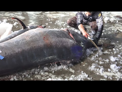Monster Fish - 800 Pound Giant Marlin Fish Cutting - 怪物魚-800磅巨大旗魚切割