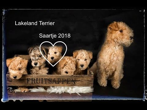 Lakeland Terrier Saartje - adventures of a pup (12:52)