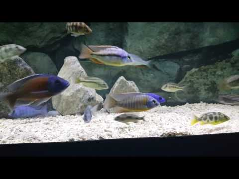 Hot tips| African Cichlids | Requirements on keeping African cichlids | Feeding in video| How not