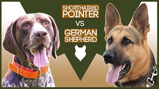 GERMAN SHORTHAIRED POINTER VS GERMAN SHEPHERD