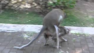 Ulu monkey sex.MOV