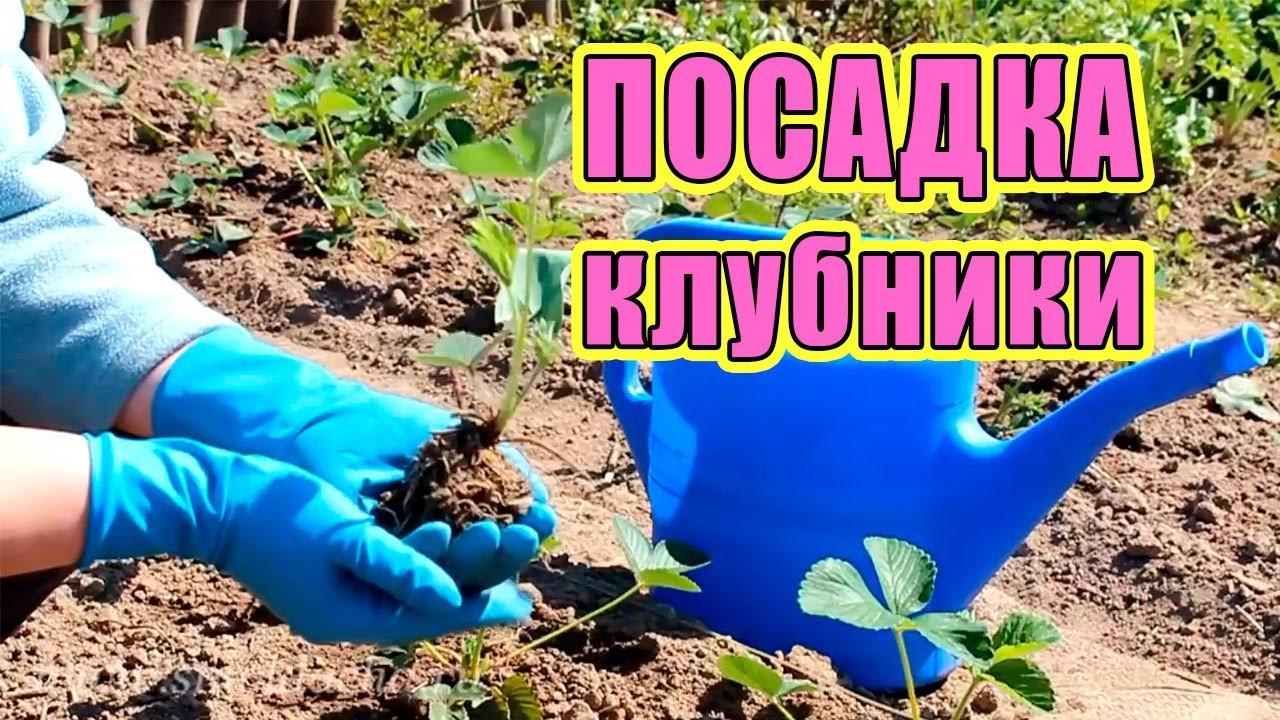Посадка садовой клубники осенью