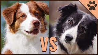Border Collie vs Pastor Australiano ¿Qué raza de perro es mejor? | Perros Mundo