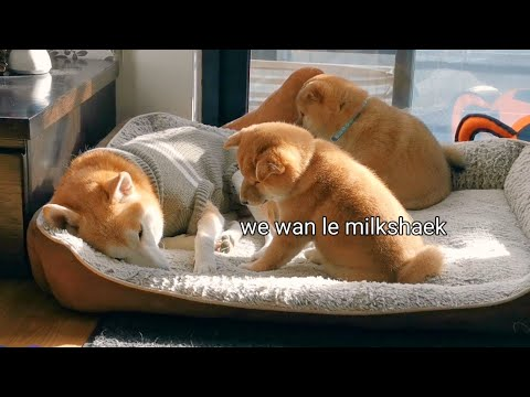 Puppies Can't Accept the Fact they are not Having Anymore Milkshaek