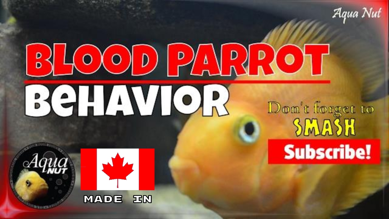 Blood Parrot Cichlid Behavior 🐟 Red Blood Parrot Fish Personality ...