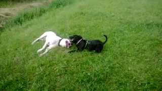 Dogo Argentina Vs Staffordshire Bull Terrier