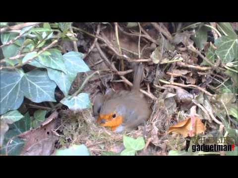 Wildlife Gadget Man - Robin Laying An Egg