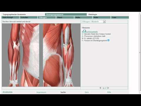 Anatomie: Obere Extremität Muskel 7/11 (Grobe Übersicht!) - YouTube