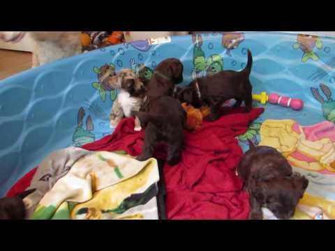F1 Mini Aussiedoodle Puppies -5 wks old- Playing in their Pool
