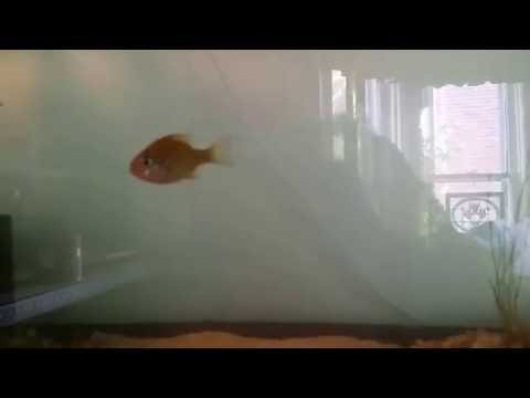 Critter Room Update: Native Fish Tank and Cherry Red Shrimp Aquarium
