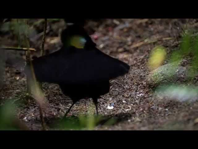 Bird of paradise sets his stage to impress – Nature's Greatest Dancers: Episode 1 Preview – BBC One