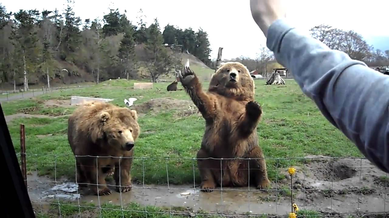 Cute Grizzly Bear Waving | www.imgkid.com - The Image Kid ... Cute Grizzly Bear Waving