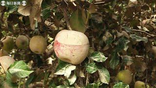 「支柱も無意味」「気持ちが揺らぐ」リンゴ産地・長野 壊滅的被害 台風19号