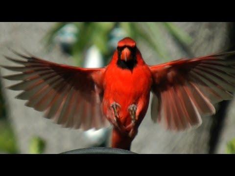 Northern Cardinal Beauty FYV 1080