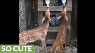 Hungry baby fawns wag tails out of happiness