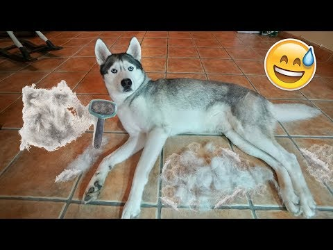 What Combing My Husky Looks Like!