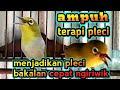Ampuh Terapi Pleci Mempercepat Pleci Ngiriwik Pleci Ngalas Pleci Buka Paruh Dan Pleci Gacor  Mp3 - Mp4 Download