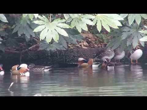 新宿御苑 オシドリ Mandarin ducks in Shinjuku Imperial garden.