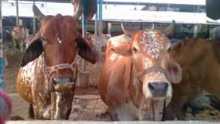 Dairy Farmers Association ® Karachi