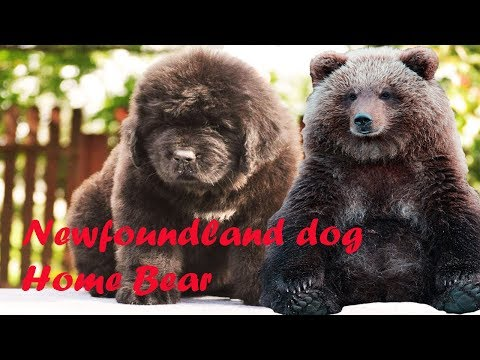 Cute is not enough 🔴 Newfoundland Dog Puppy  Home Bear Video 2019