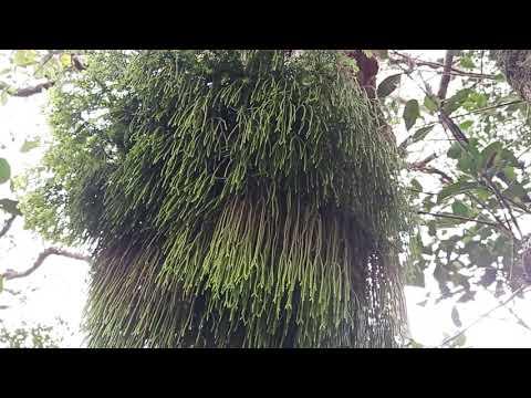 lấy bụi râu rồng trên cây cao cực đẹp LH:0335329601