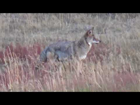 Coyotes in Yellowstone National Park. P&N September 2017