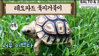 레오파드 육지거북이 정말 너무 이쁘다.. [거북이 전문…