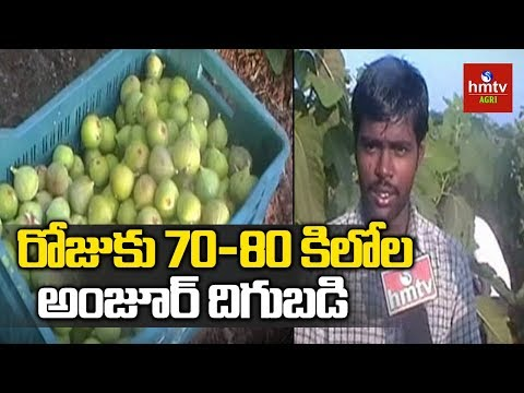 Anantapur Farmer Anjeer(Fig) Cultivation Success Story   hmtv Agri